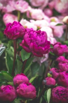 Peonies San Francisco Flower Mart